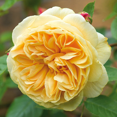 David Austin Rose...'Teasing Georgia'