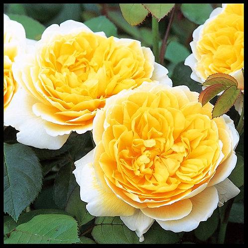 David Austin Rose Charlotte flower