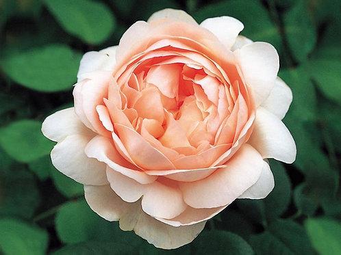 David Austin Rose...'Ambridge Rose'