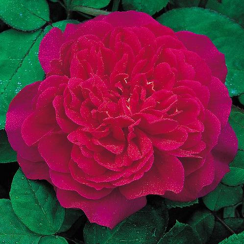 David Austin Rose...'Sophy's Rose'