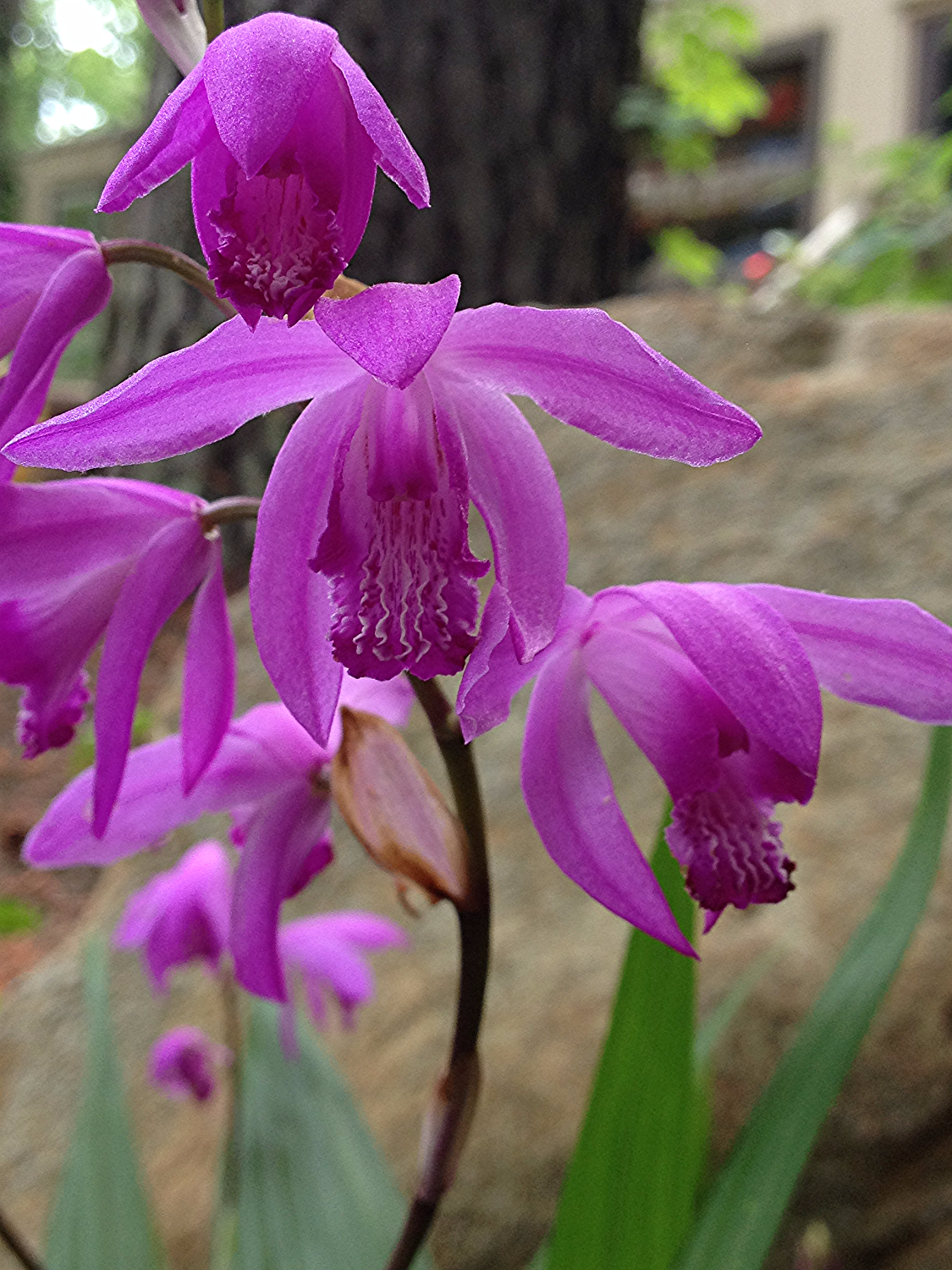 hardy orchid