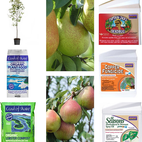 Comice & Seckel pear tree bundle