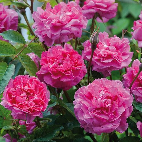 David Austin Rose...'England's Rose'