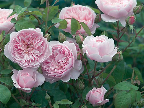 David Austin Rose...'Wisley 2008'