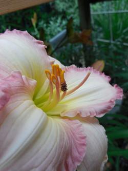 lady bug on daylily