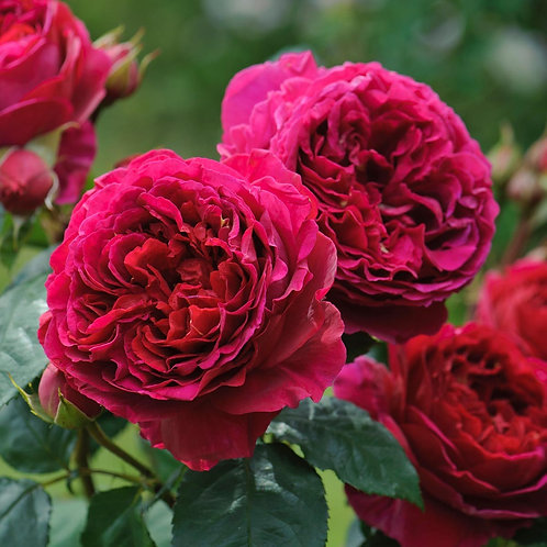 David Austin Rose...'Heathcliff'