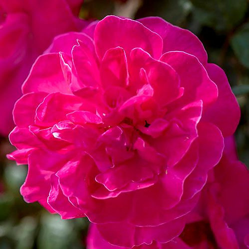 Highwire Flyer climbing rose