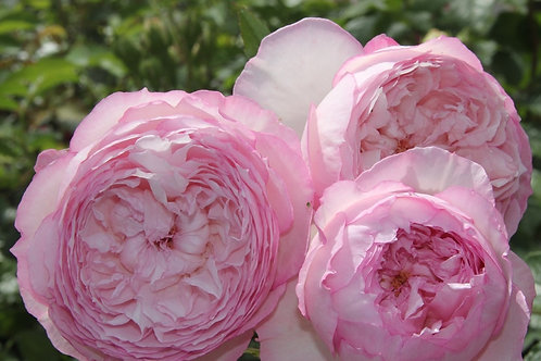 David Austin Rose...'The Mill on the Floss'