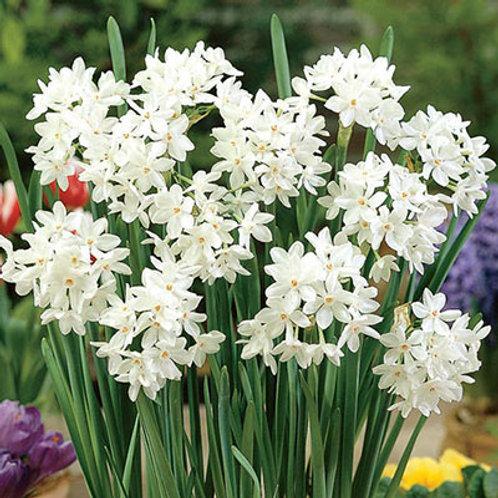 Narcissus 'Ziva' Paperwhites