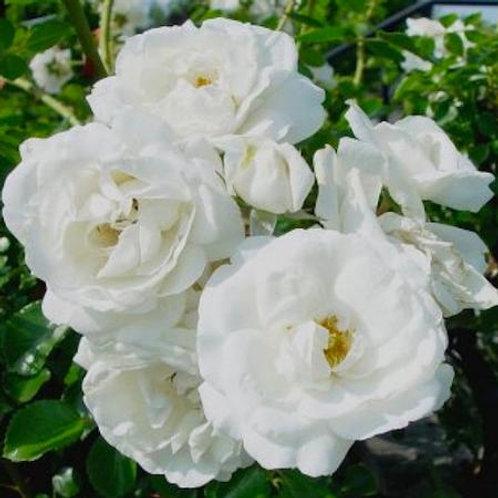 'White Dawn' climbing rose