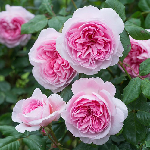 David Austin Rose...'The Ancient Mariner'