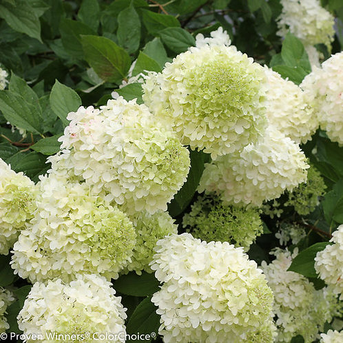 Panicled Hydrangea...Limelight