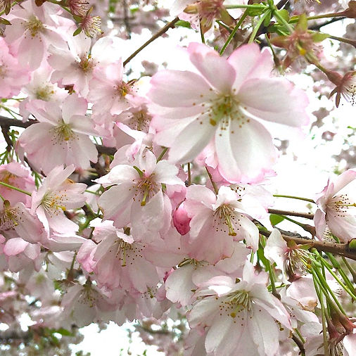 Sakura 2020.jpeg
