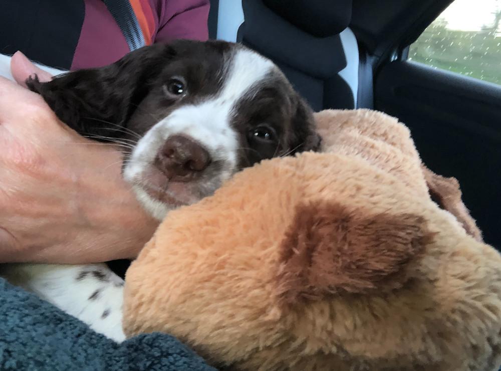 Springer Spaniel puppy in car on lap