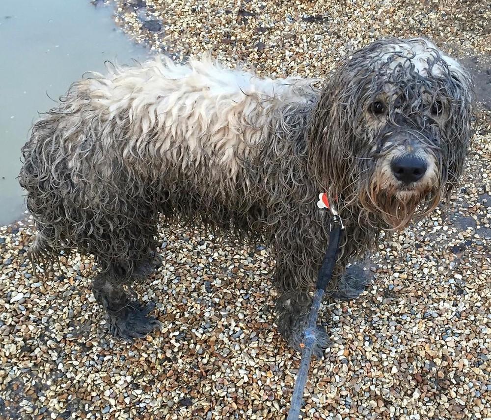 Muddy Golden Doodle dog