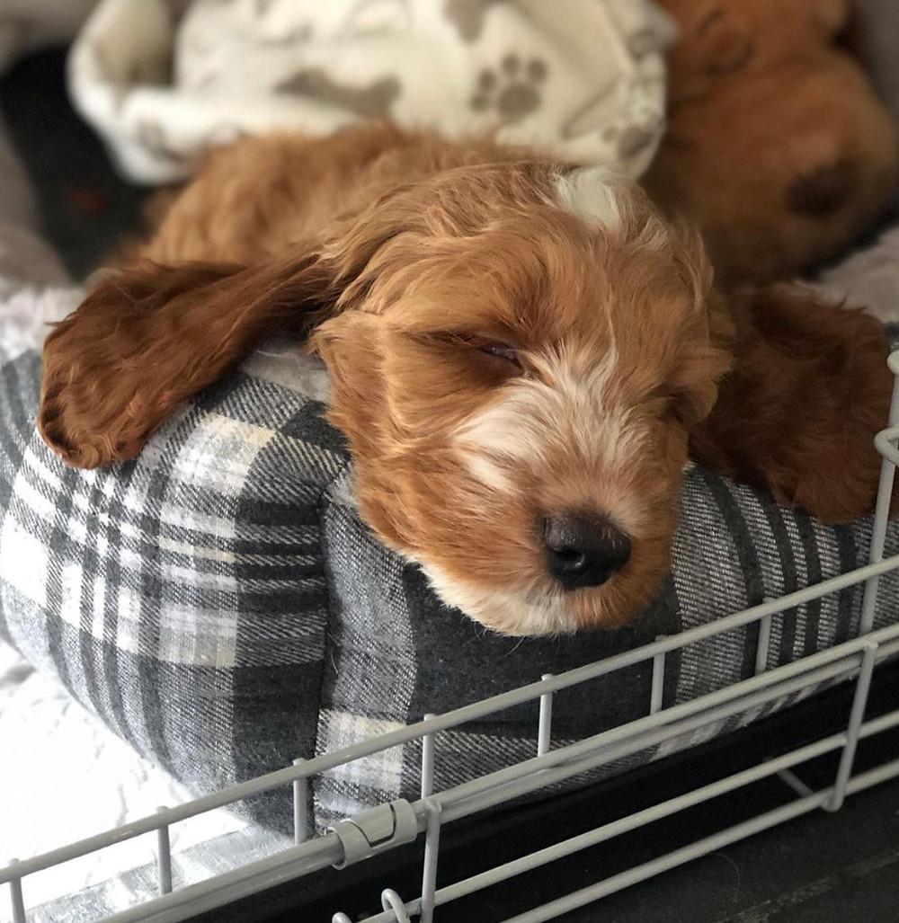 Puppy sleeping in a grey tartan bed