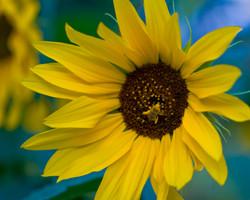 SunflowerNBee2343