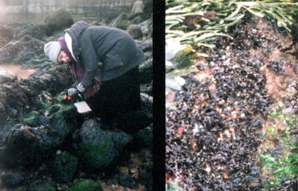 harvesting baby Carrageen the day after St Patrick's day