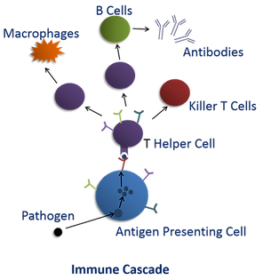 MHC immune cascade