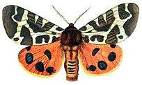 erebid moth.jpg
