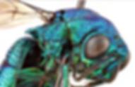 Cuckoo_wasp.png