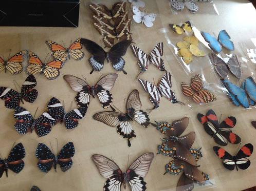 Lepidoptera Collection I