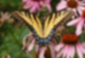 Eastern_Tiger_Swallowtail_Papilio_glaucu