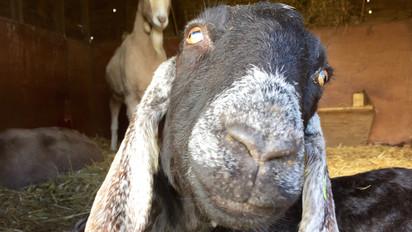 Storm Goat