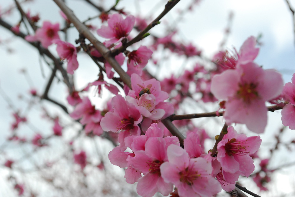 Bee Pollinating Peach Blossoms