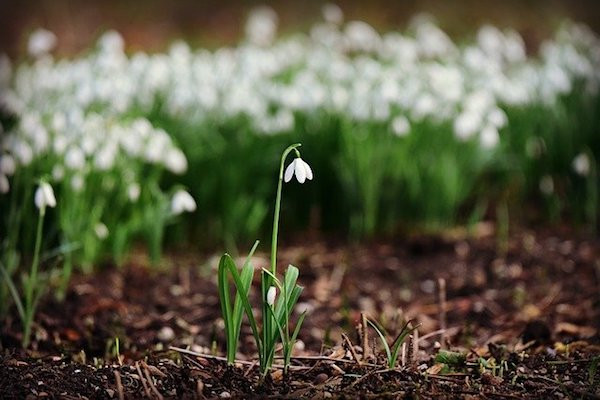 a single snowdrop flower