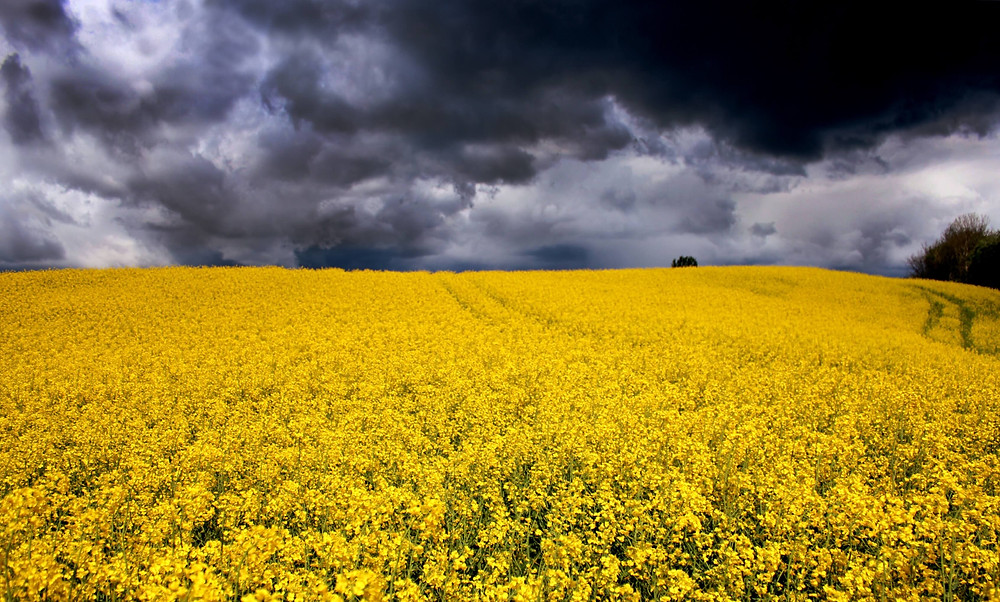 field of yellow flowers under dark sky