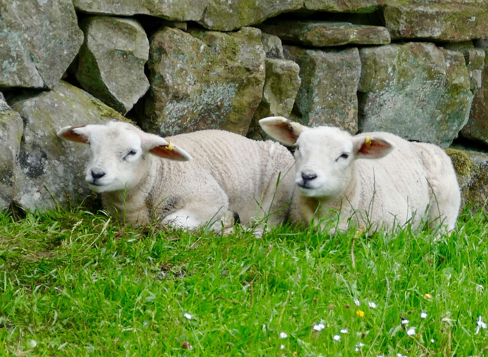 sheep resting in the grass