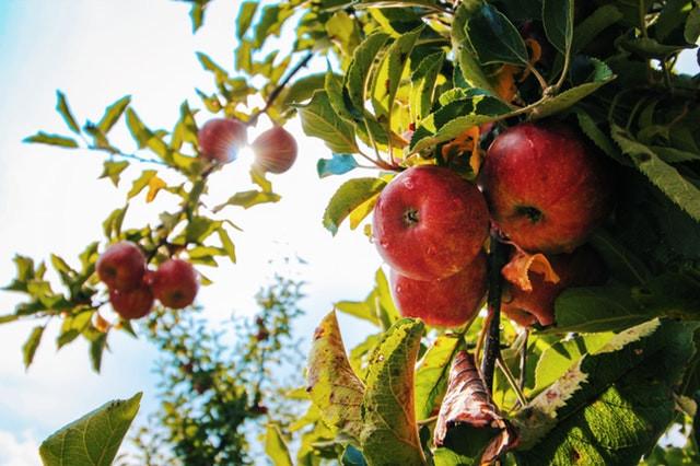 apples on sun lit tree