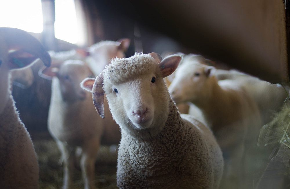 sheep looking into the camera