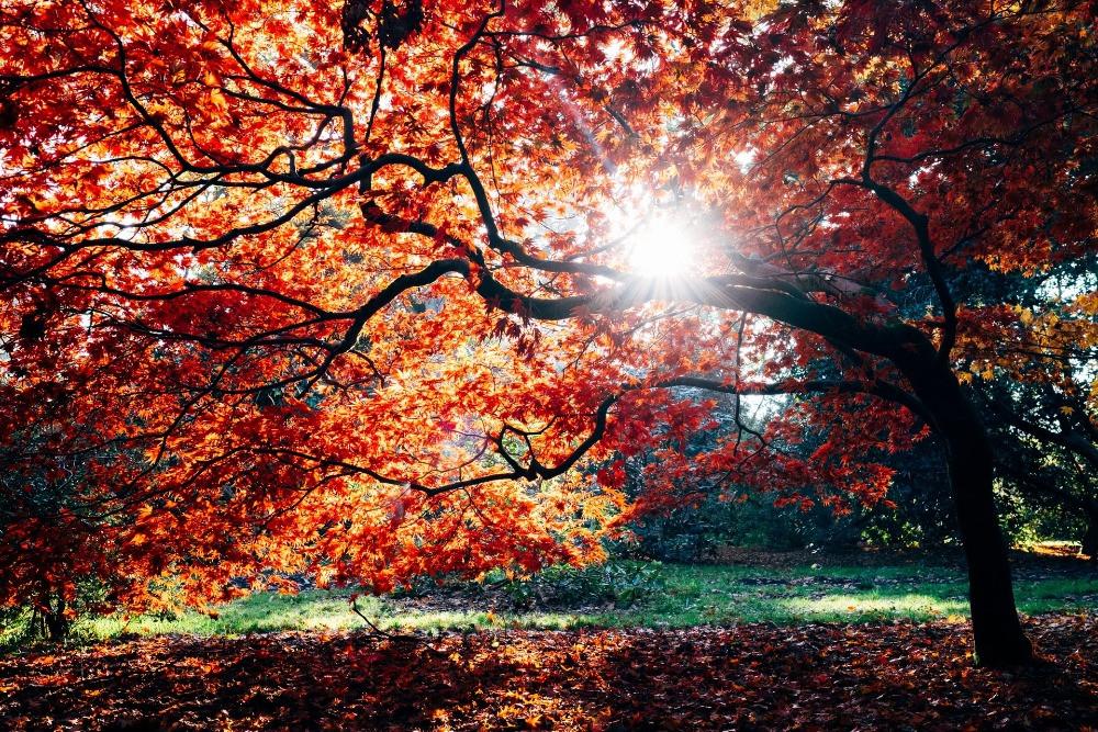 sunlight through fall leaves