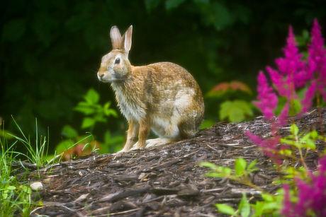 Rabbit-3.JPG