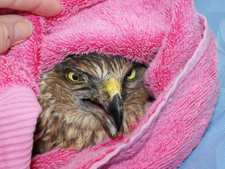 Case Study - Australasian Harrier with a fractured mandible