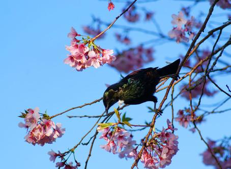 Tui rehabilitation in the Springtime