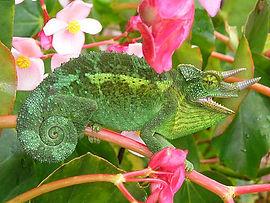 450px-Jackson's_Chameleon_2_edit1.jpg