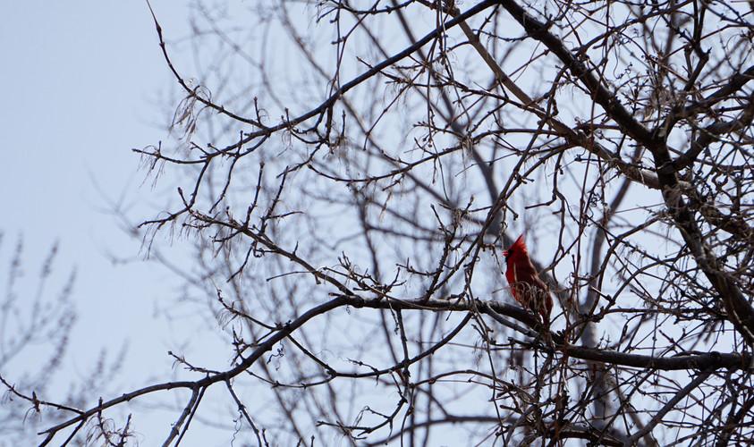 Cardinal Rouge-4.jpg
