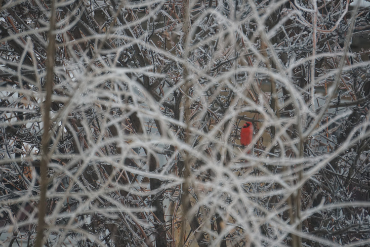 Cardinal Rouge (Givre-3)