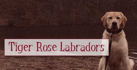 Tiger Rose Labradors