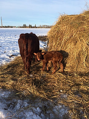 cow and standing calf at bales.JPG