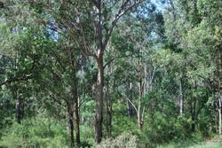 Cumberland Plain vegetation near St Thomas Church
