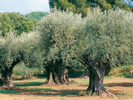 Dall'ulivo, il nostro benessere