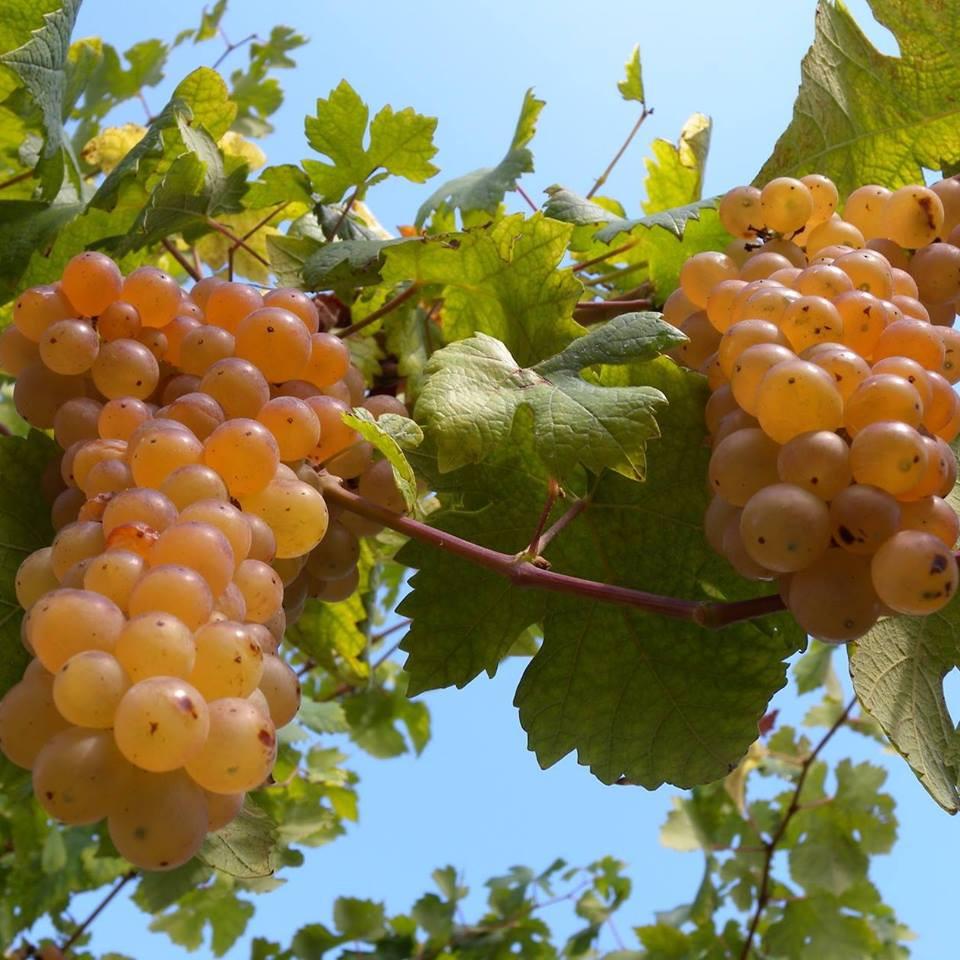 Grappolo di uva Erbaluce maturo