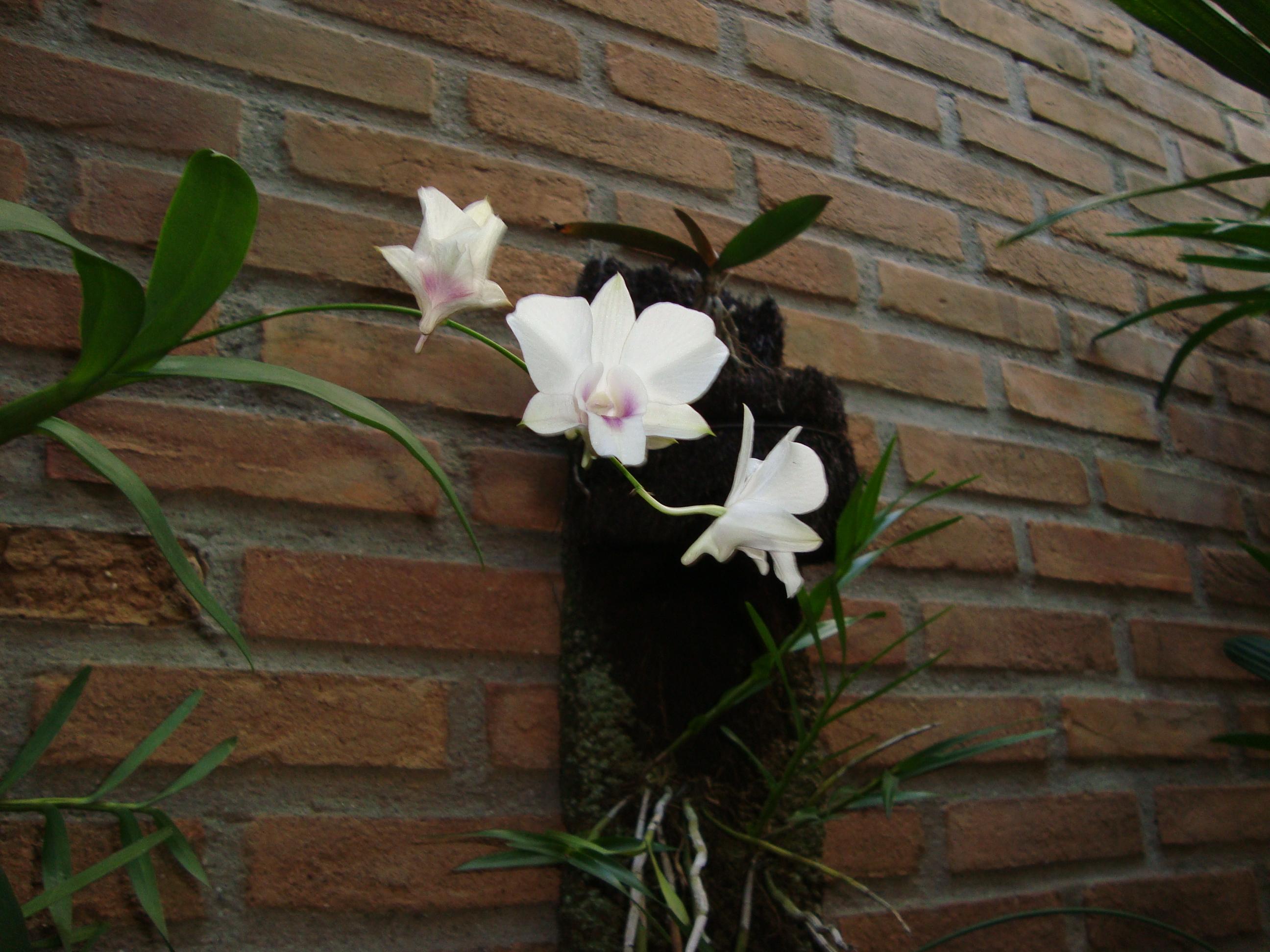 Orquídea em nosso jardim