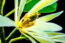 Zesty Champaca aroma olie, geur