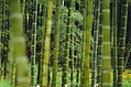 Bamboo aroma olie, bamboe geur