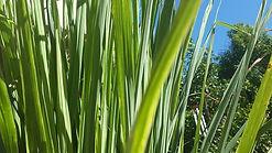 Lemongrass Cochin aroma olie, geur